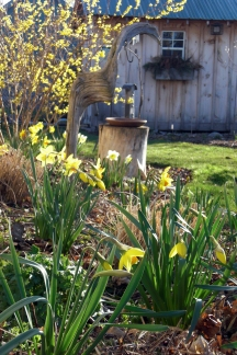 Daffodils are beginning to naturalize by Spring 2012. Forsythia blooms in the background. Although these bright yellow blooms offer me a good dose of Spring cheer, none of them offers any nectar for early bees, aside from Crocus. I hope to add native ephemerals such as Virginia Bluebells and Hepatica over the next few years for my insect friends.