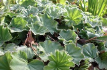 Dew drops on the leaves of Lady's Mantle