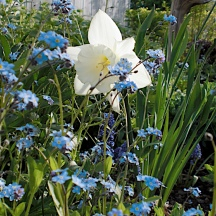 Finally a Spring show in 2010! A white daffodil lost in a sea of native Forget-me-nots. Large drifts of color attract butterflies more so than single specimen plantings.