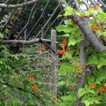 The arbor supports Scarlet Runner Beans Summer 2011.