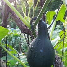 Ornamental gourds surprised me in 2012 and also found their way up the arbor on the other side.
