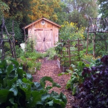 Summer 2012. A view from the compost bins towards the shed. Horseradish and Purple Perilla are in the foreground.