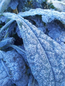 Lacinato Kale laced with frost.