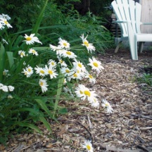 The Potager is just as beautiful as a flower border. In fact, I plant numerous flowers among my vegetables to attract pollinators and beneficial insects. Many are edible. Marigolds deter rabbits. Here daisies spill over the path in Spring 2012.