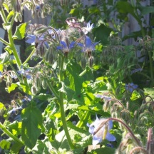 Borage is always buzzing with bees.