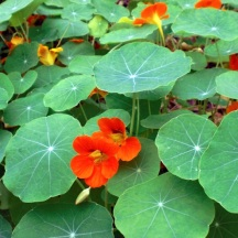 Nasturtium is a staple in the Potager. Its peppery leaves add flavor to salads. Its flowers are delicious, too.