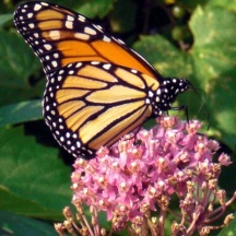 Swamp Milkweed attracts many pollinators and is also a host plant for the Monarch Butterfly.