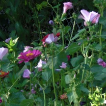 A grouping of annual Zinnia and Rose Mallow.