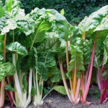 Then there are the vegetables, of course! Rainbow Swiss Chard is just as ornamental as it is tasty.