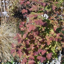 A young Cranberry Viburnum in its fall colors, 2012.