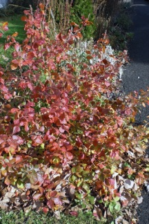 Another newly added shrub, Low Gro Sumac is a great alternative to the invasive Burning Bush.