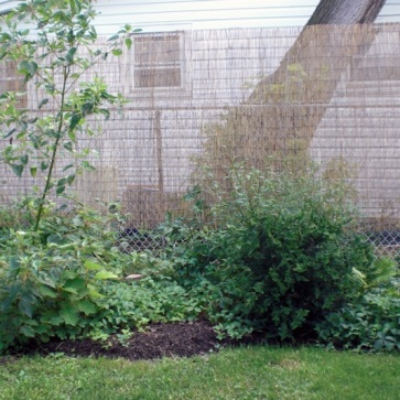 Screening for privacy after the cut. Newly planted evergreen Fernspray Cypress, Chamaecyparis obtusa 'Filicoides,' will mature to 10' tall x 4' wide –more suitable for this space (unlike the Box Elder). Notice the growth of Cardinal Dogwood on the left!