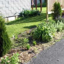 Expanding the planting bed in 2010 to continue further down along the drive. Another Emerald Green Arborvitae is added as well as Indian Grass, Solidago rugosa 'Fireworks,' and Rudbeckia Maxima – Giant Coneflower.