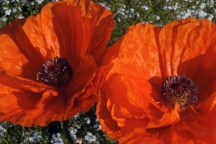 "Poppies ""pop"" in the spring of 2011. These bright blooms are so much more appreciated than a strip of muddy lawn."