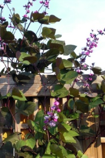 Still playing with some annual vines on the trellis while waiting for Dutchman's Pipe to take hold. A favorite is Purple Hyacinth Bean.