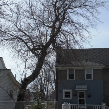As much as I hate to cut down a mature tree, this Box Elder had to go. It was weakening and leaning precariously over our roof.