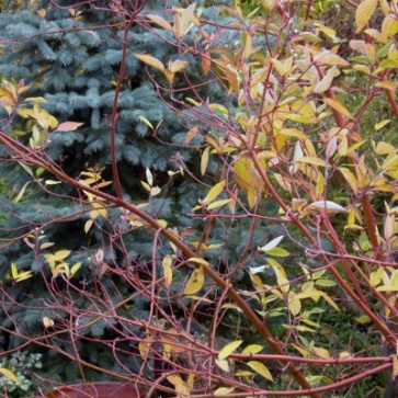 The Cardinal Dogwood stems turning in Fall 2012 against Blue Spruce, one of the tallest layers in this transitional edge. In the stark of Winter the stems are even more pronounced. I especially enjoyed watching Robins feed their young the berries of this shrub this year. I have a close seat from the enclosed porch.