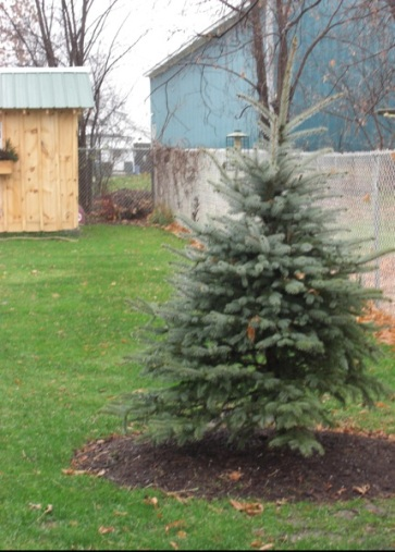 "A little bit of that ""groundwork,"" my first tree, a Colorado Blue Spruce. I wanted an evergreen ""anchor"" for all seasons. Spring 2009."