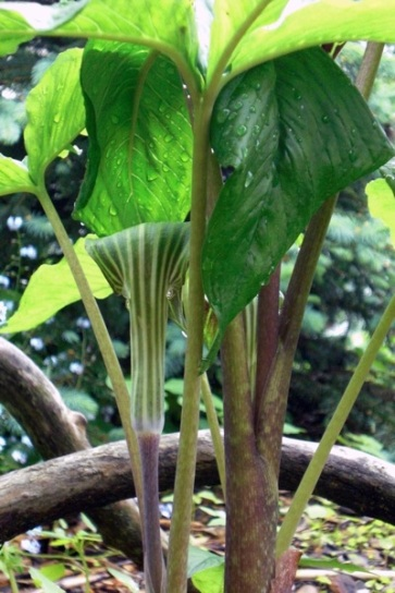 Jack in the Pulpit, Arisaema triphyllum, came to me from central NY where it volunteered in my mother's garden. It has survived two winters and should begin to spread and become more established. It also produces berries. This plant will tolerate the juglone leached by the Black Walnut Tree.