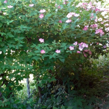 The Prairie Rose today, no longer bare (root), trained as a vine, successfully disguises the chain link fence. The birds love this thorny, safe haven.