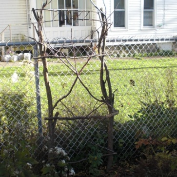 Another one of my rustic structures. This trellis was built with a native Prairie Rose in mind. It is there, barely (root).