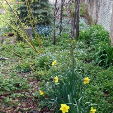 Spring 2012. Daffodils continue to naturalize among Forget-me-nots in full spring bloom further back. Now to add more spring ephemerals to the mix. On the wish list: Virginia Bluebell, Bloodroot, Hepatica, Trout Lily, Trillium and Shooting Star (a second try). I'm crossing my fingers that the May Apples given to me by a friend last summer will emerge this Spring 2013!