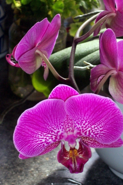 moth orchid bloom