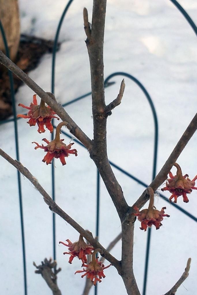 witchhazelfirstbloom
