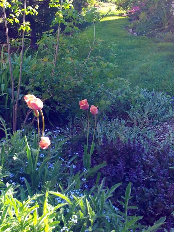 tulipdriverow