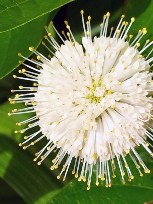 Buttonbush bloom 2013