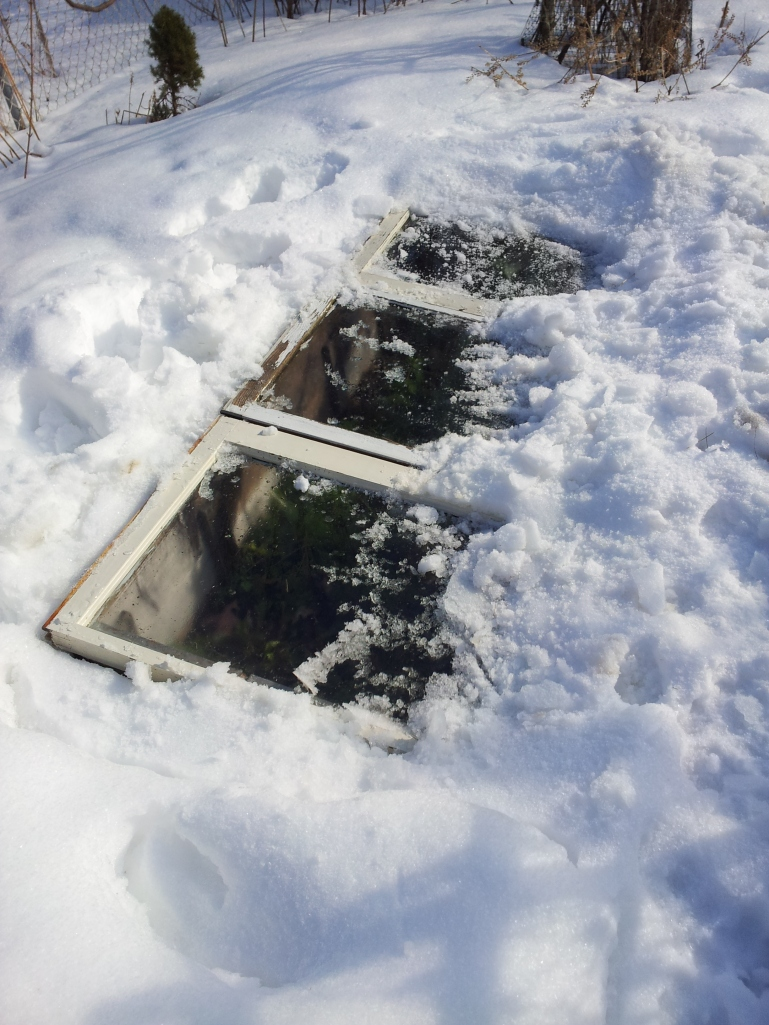 My buried cold frame.
