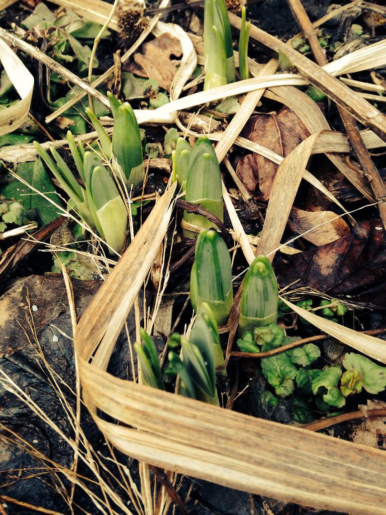Daffodil Delirium