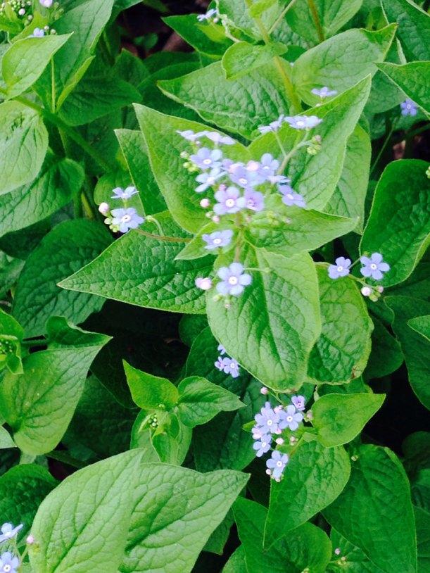 Brunnera macrophylla 'Blue' (Heartleaf Alkanet)