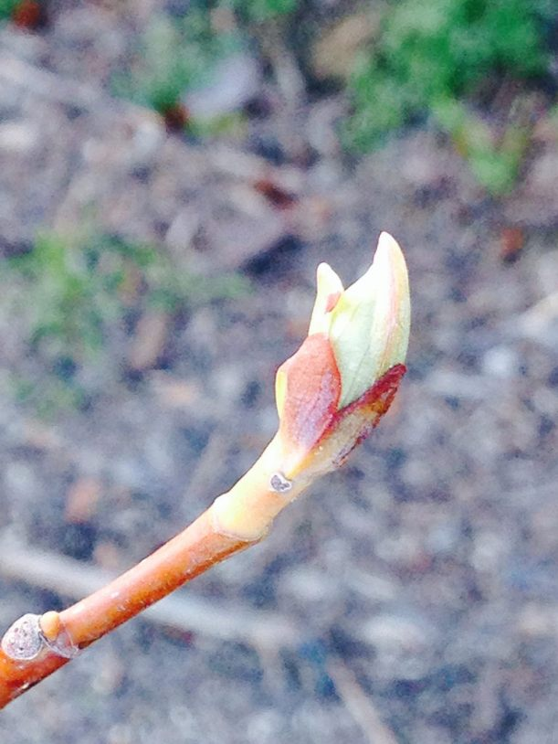 tulip tree bud I