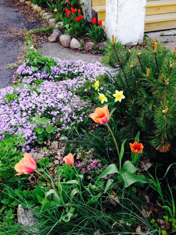 Tulips and Creeping Phlox
