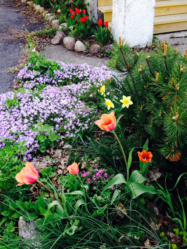 Tulips and Creeping Phlox