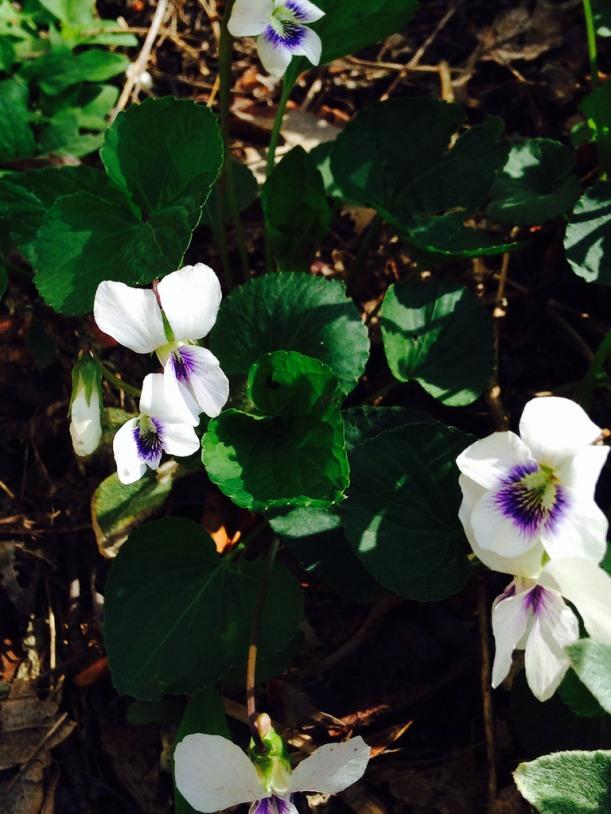 whiteviolet