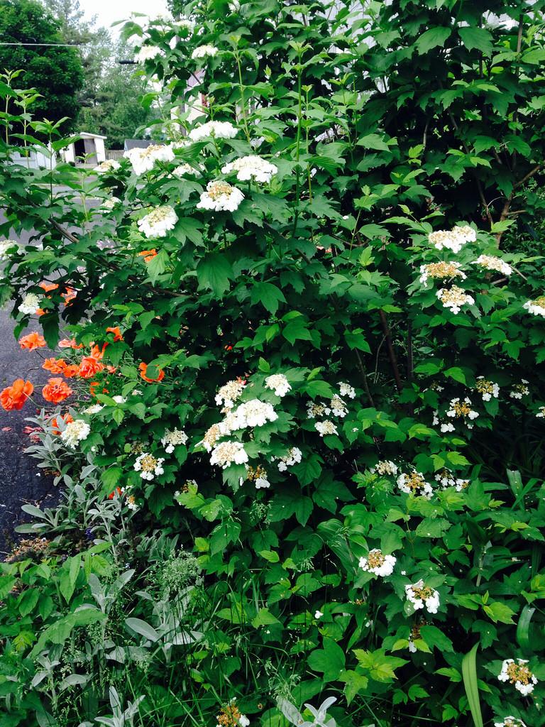 cranberry viburnum