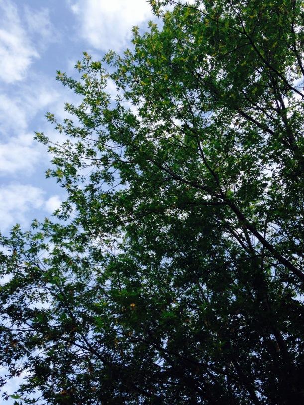 Neighboring Silver Maple