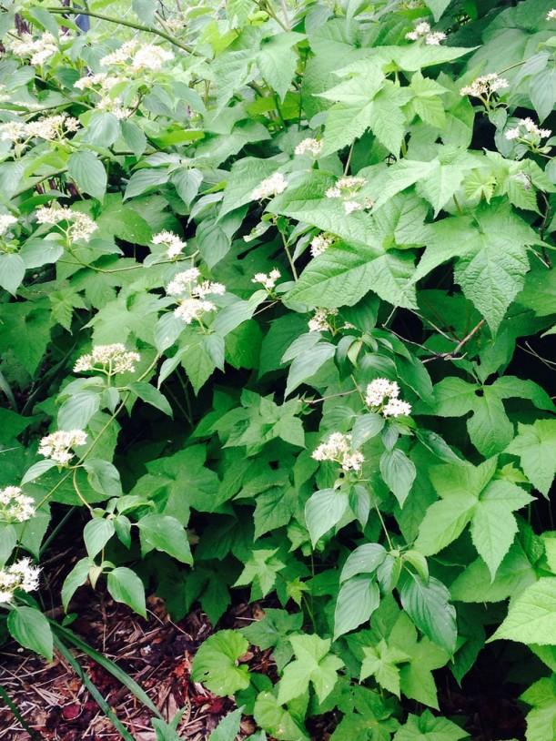 pagoda dogwood blooms