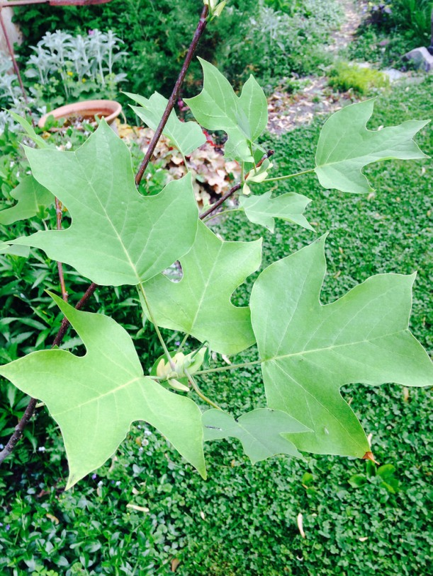 The beautiful leaves of the Tulip Tree