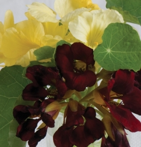 Night and Day Nasturtium, photo courtesy of Johnny's Seeds
