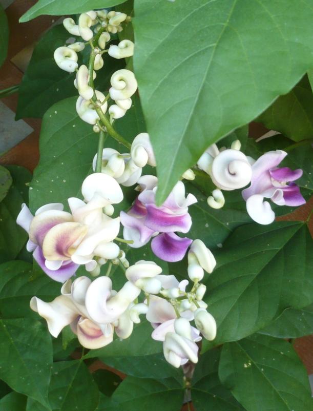 Corkscrew vine and blooms closeup