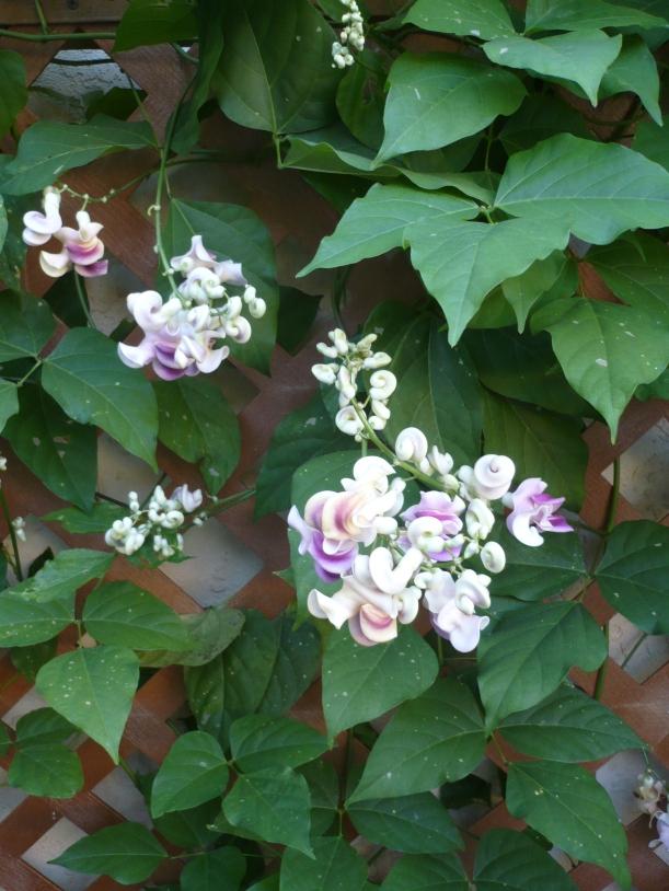 Corkscrew vine and blooms