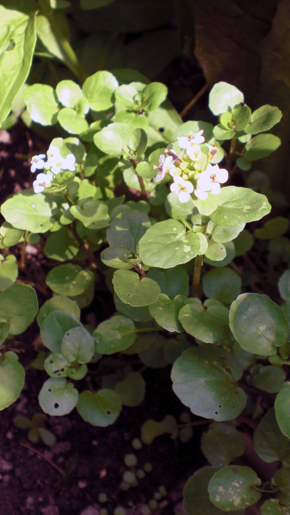 Also tucked into the salad bed is something new, Watercress. I love its peppery taste. It's going to flower and I'm going to let it set seed.